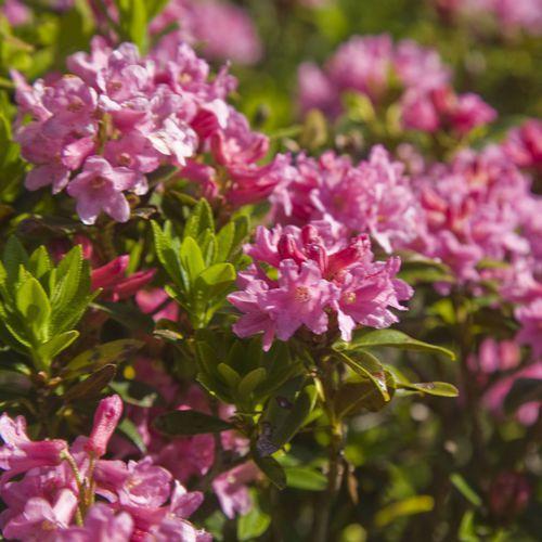 ©Wertach Alpenrosenblüte2010.jpg