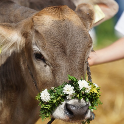 Kuh im Appenzeller Land