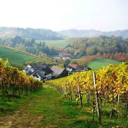 Weinanbau Oberkirch