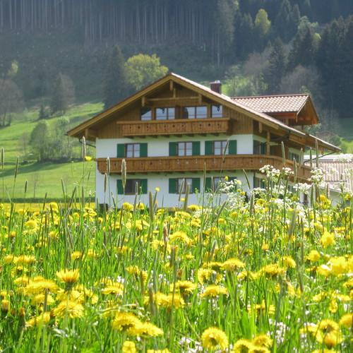 Schöllang Löwenzahn 052009 075.jpg