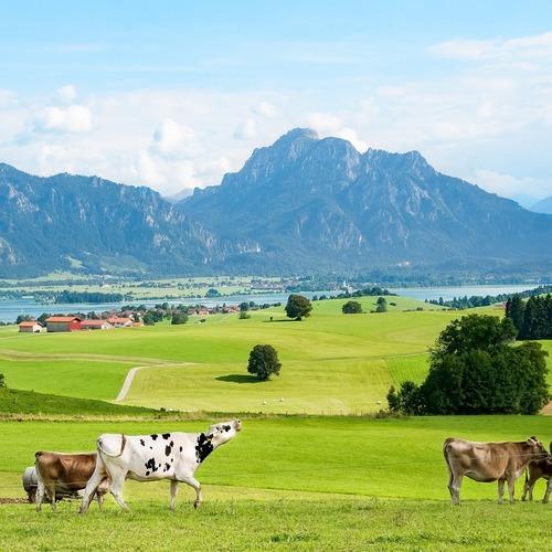 Kühe im Ostallgäu
