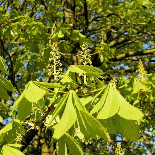 chestnut-tree-321980_1920.jpg