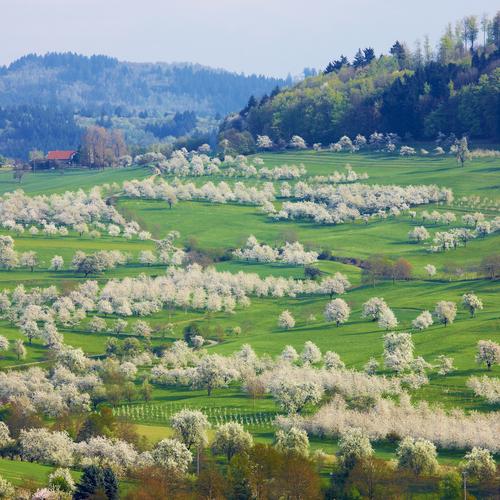 Kirschblüte Feldberg Niedereggenen