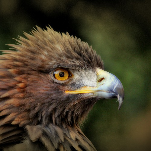 golden-eagle-627943_1920.jpg
