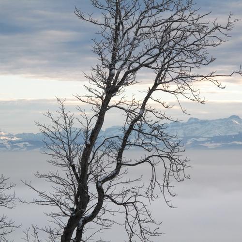 Baum Nebelmeer Sentis