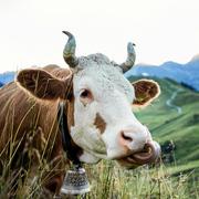 Kuh in Adelboden